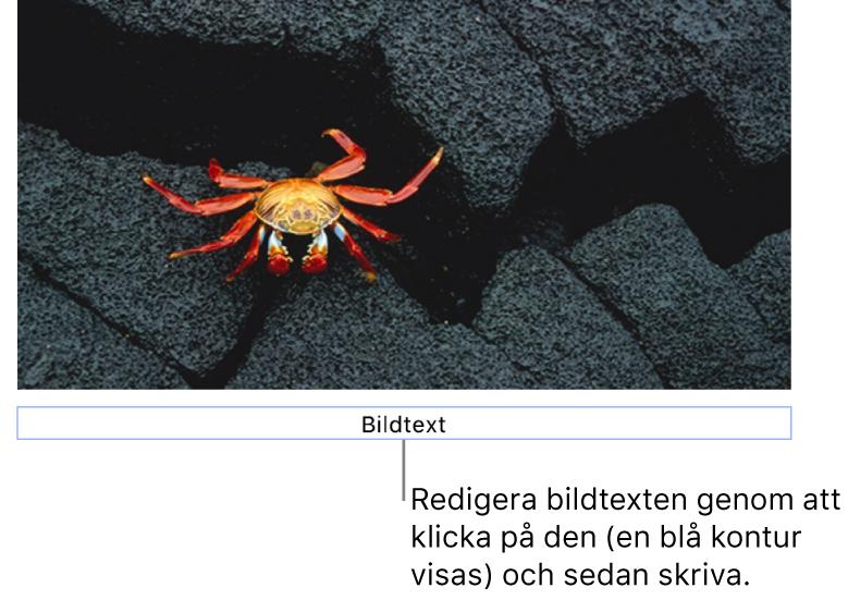 """Platshållarbildtexten """"Bildtext"""" visas under en bild. Den blå konturen runt bildtextfältet visar att det är markerat."""