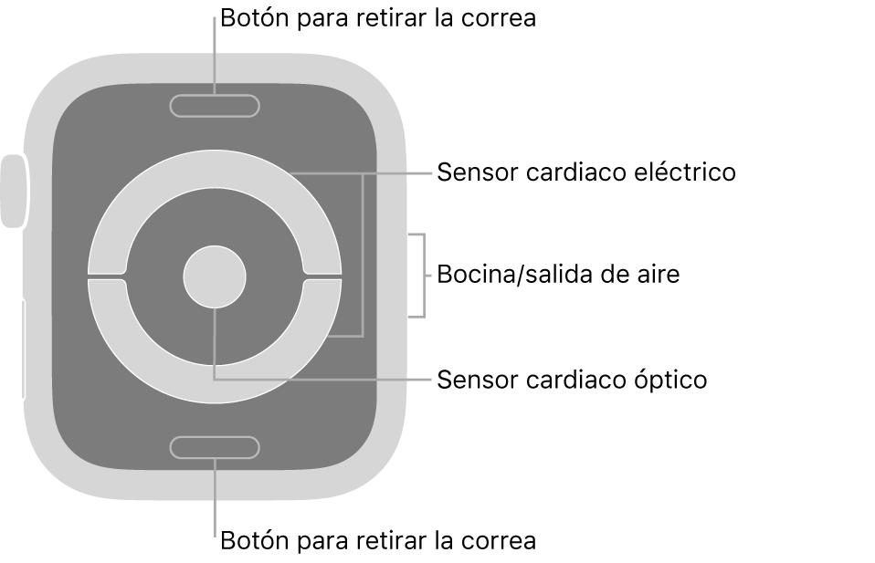 En el reverso del AppleWatch Series4 y AppleWatch Series5 se muestran los botones de liberación de correa en la parte superior e inferior; los sensores eléctricos y ópticos para medir la frecuencia cardíaca en el centro; y la bocina/ranuras de aire en un lado del reloj.