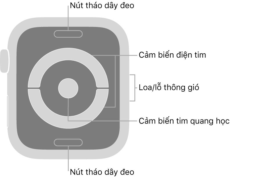 Mặt sau của Apple Watch Series 4 và Apple Watch Series 5, với các nút tháo dây ở trên cùng và dưới cùng, các cảm biến tim điện và các cảm biến tim quang học ở giữa và loa/lỗ thông gió trên sườn của đồng hồ.