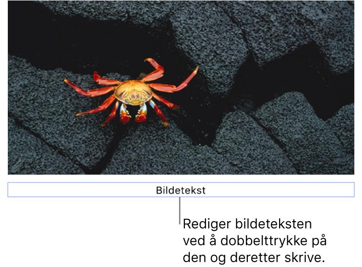 Plassholderbildeteksten «Bildetekst» vises under et bilde. Et blått omriss rundt bildetekstfeltet viser at det er markert.